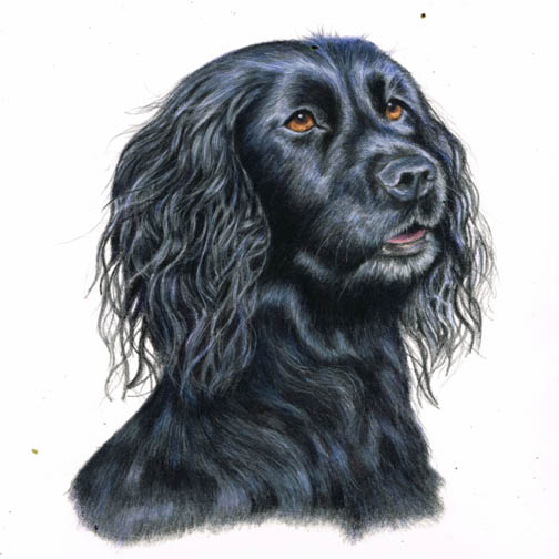 Cocker spaniel dog portrait in coloured pencil
